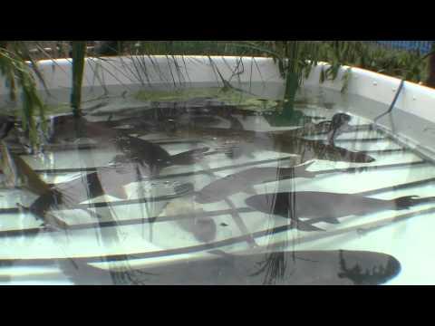 Технология выращивания сома в домашних условиях