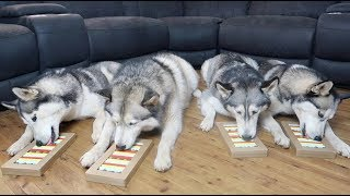 TESTING MY 4 HUSKIES' INTELLIGENCE | DOG IQ PUZZLE TEST | DOG TREAT PUZZLES!