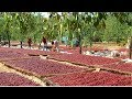 How To Harvest Apple? - Apple Harvesting and Farming & Apple Packaging