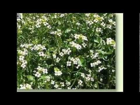 Heilpflanzen / Echte Brunnenkresse