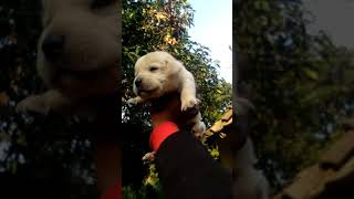 Labrador puppy sale in Jabalpur MP 8517070707