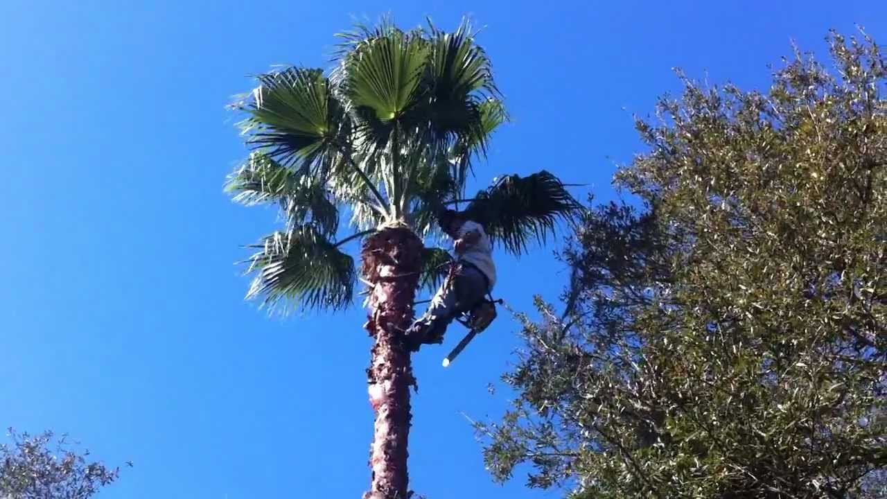 how to cut down a palm tree with a chainsaw
