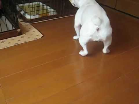 French Bulldog☆nanaちゃんとtaraちゃん♪ video