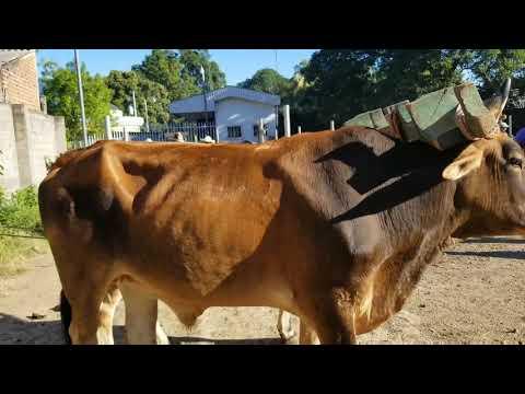 Comprando ganado Santa Elena Usulutan El Salvador