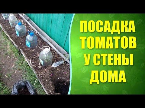 Посадка томатов в грунт рассадой в пеленках из пленки. Как посадить, чтобы росли томаты без полива?