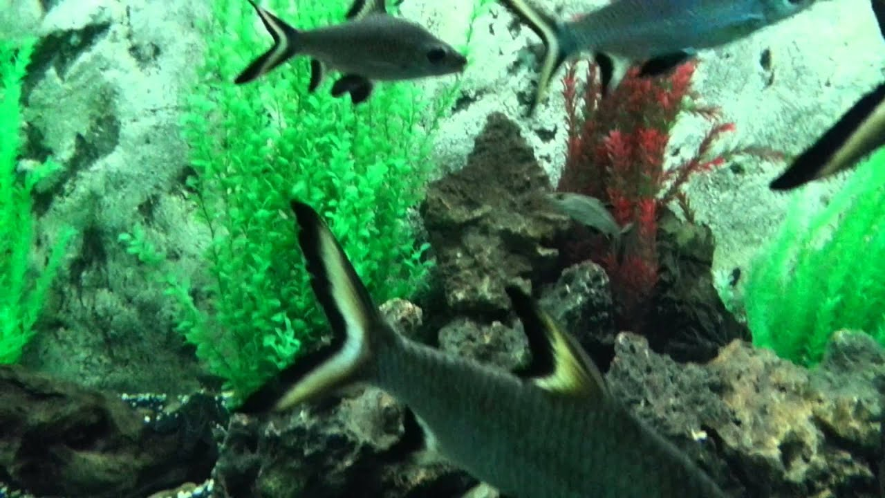 Silver shark is a tropical fish for freshwater aquariums ...