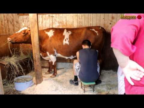 Мастер класс по доению коров