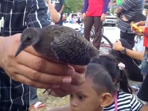 Anak Burung Wak-wak video