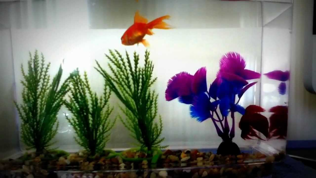 Betta and goldfish happy youtube for Betta fish together