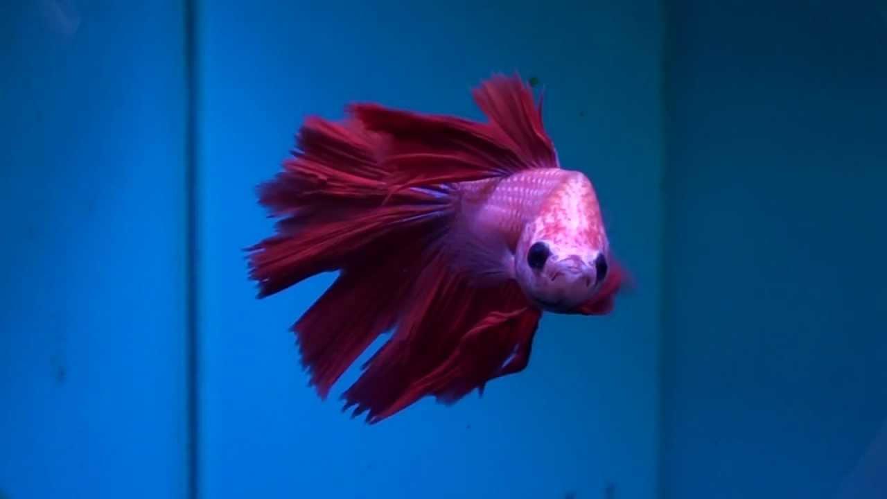 Siamese fighting fish betta splendens youtube for Japanese fighter fish