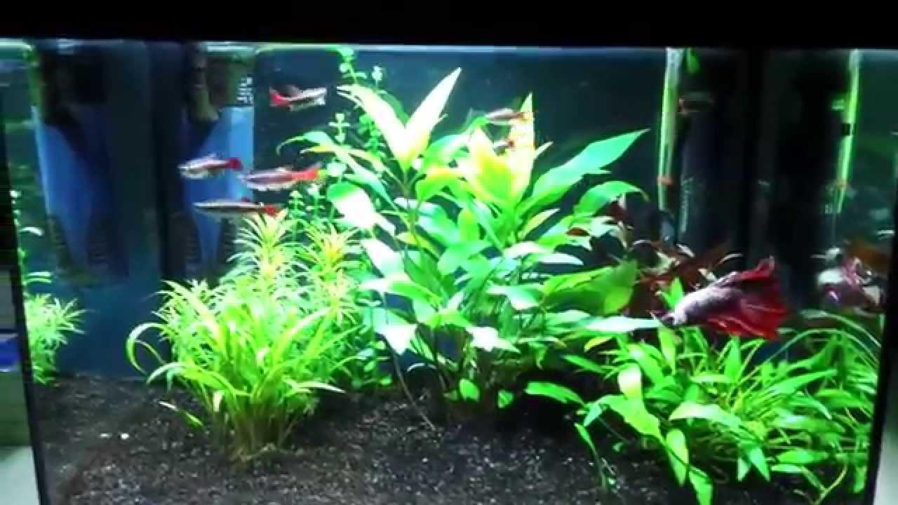 Community Betta Fish Tank Betta Fish