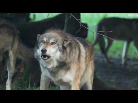 عودة الذئاب الى جبال الألب الفرنسية تهدد المواشي Music Videos