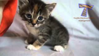 Little kittens meowing and talking   Cute cat compilation