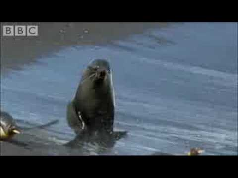 King Penguins and Fur Seals - BBC Planet Earth