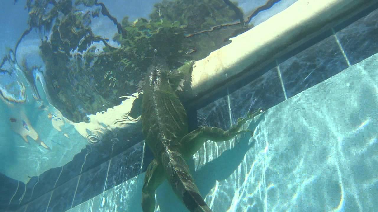 Green Iguana Leguan Can Swim Dive Well Florida 2011