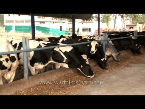 Dairy cows feeding in the farm
