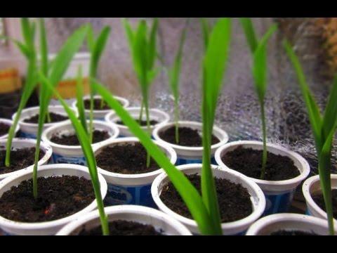 Выращивание сладкой кукурузы через рассаду