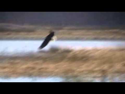 Bald Eagle at Bombay Hook Nov 2011