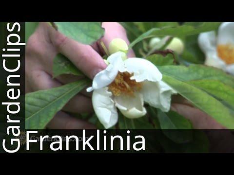 Franklin tree - Franklinia alatamaha