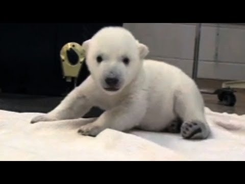 Mira este video para que te enamores de éste adorable oso polar