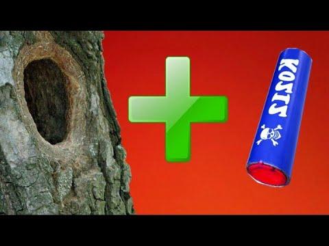 Петарды взрываем в дупле и пнях | Взрыв петарды в сухом дереве | Корсар 12 и к 55 Мега пиратка 2