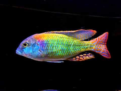 Aquarium/Cichlids on Pinterest | Cichlids, African ...