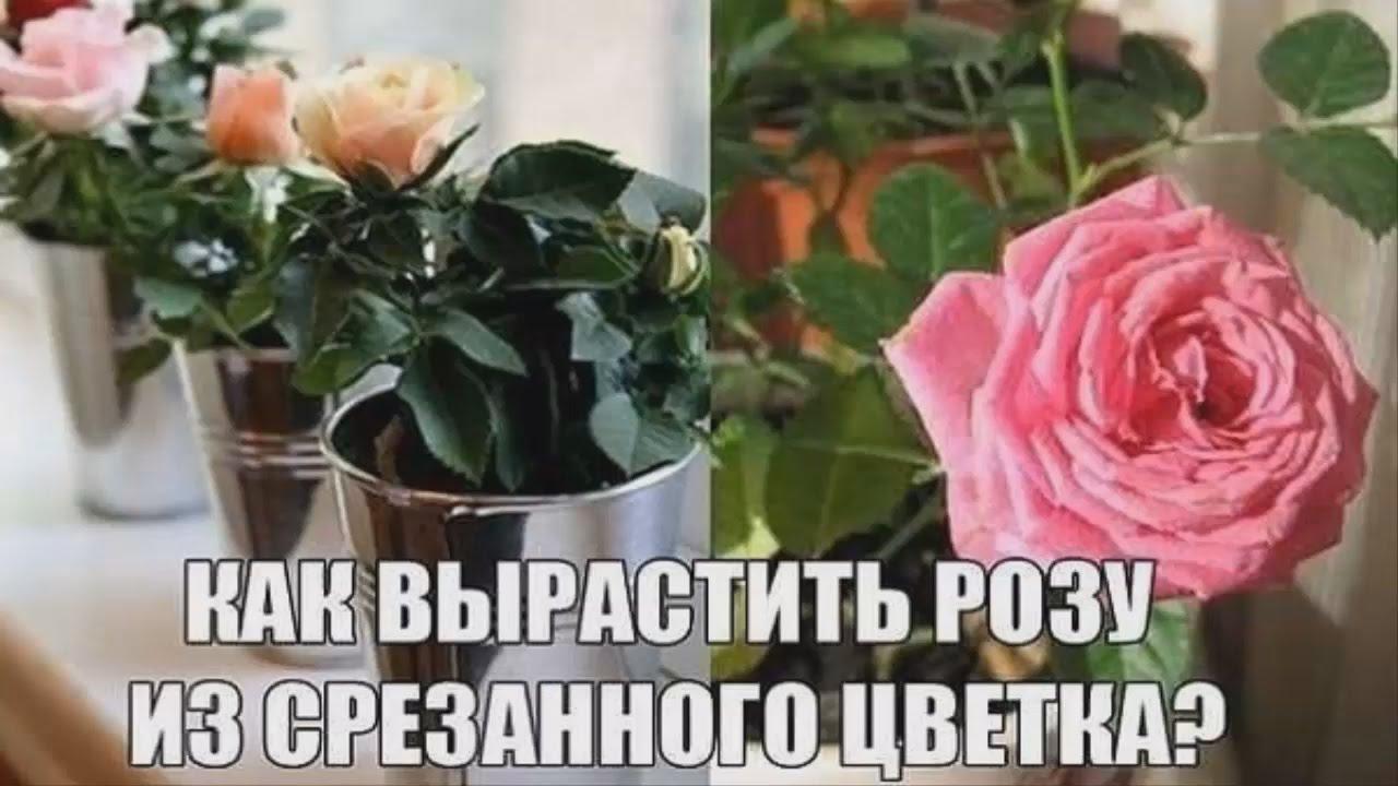 Как вырастить розу из срезанного цветка в домашних условиях