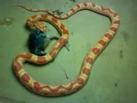 What do Corn Snakes Eat Red Corn Snake Eating Young