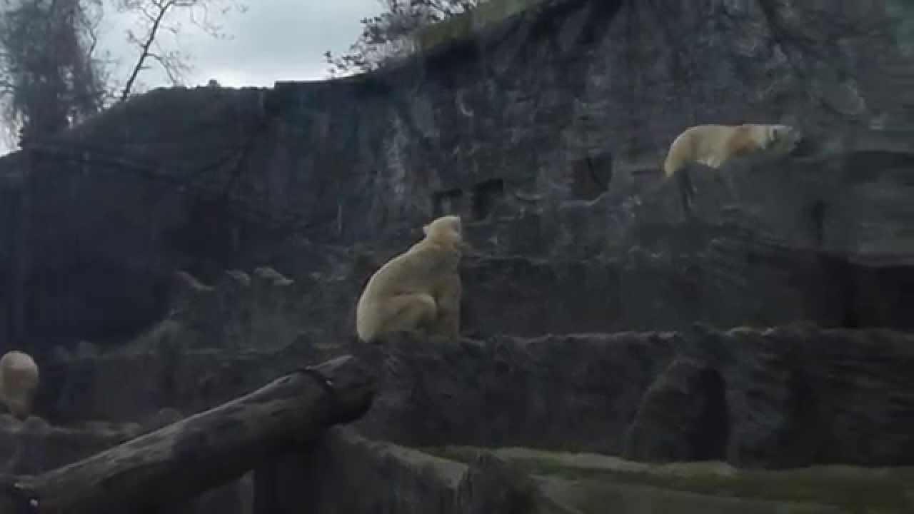 Medvěd lední – Wikipedie