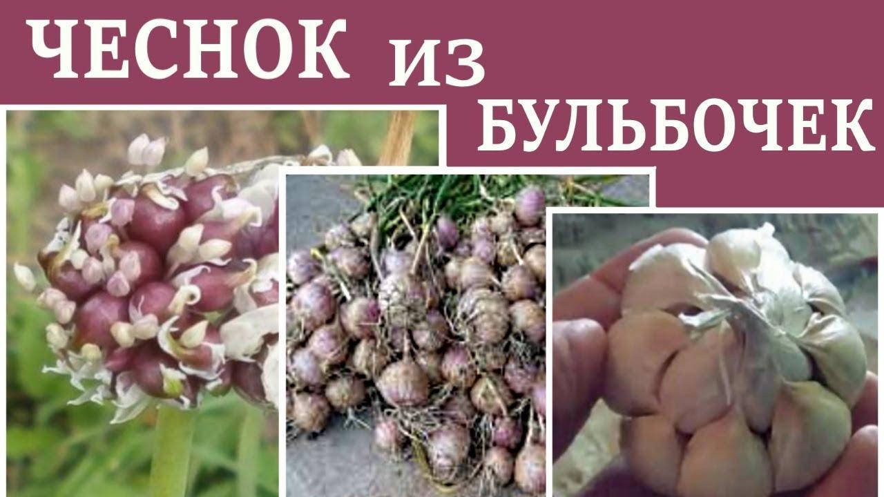 3 правила выращивания чеснока из бульбочек, видео