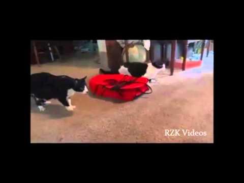 meraklı komik kediler