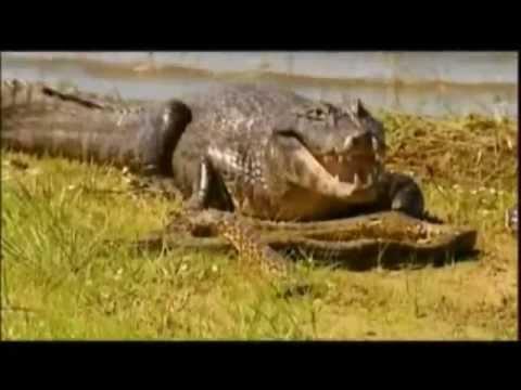 Duel au coeur du marais - extrait - Anacondas & Caïmans
