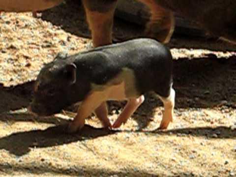 がんばれミニ豚の子豚福知山動物園