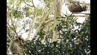 Koala Has An Epic Meltdown