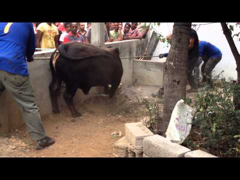 Bakrid 2013 by POWERBULL 1st bull