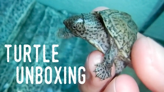 QUARTER-SIZED BABY TURTLE UNBOXING   New Additions!