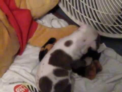 pit bull vs rot pit gana Video