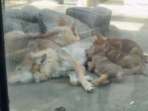 天王寺動物園のチュウゴクオオカミの赤ちゃん