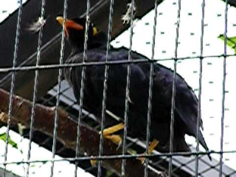 江戸川区自然動物園のしゃべる九官鳥