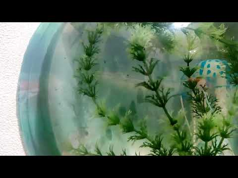 !!! Рапаны в аквариуме, родились из ракушек!!!