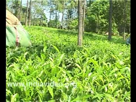 Priyadarshini Tea Estate, Wayanad