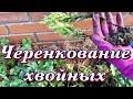Результат черенкования хвойных Размножение туи кипарисовика можжевельника mp3