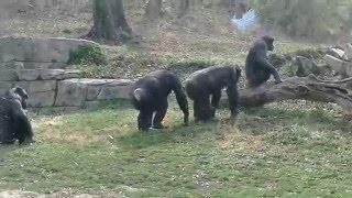 download lagu Chimpanzee Mating Season Is Here At The Kc Zoo gratis
