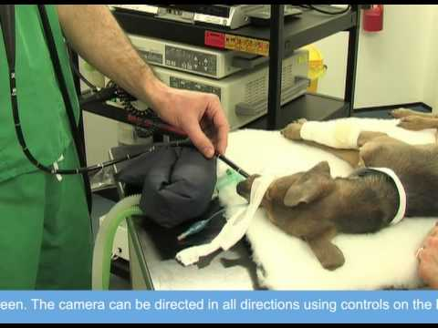 Gastrointestinal Endoscopy In Dogs And Cats