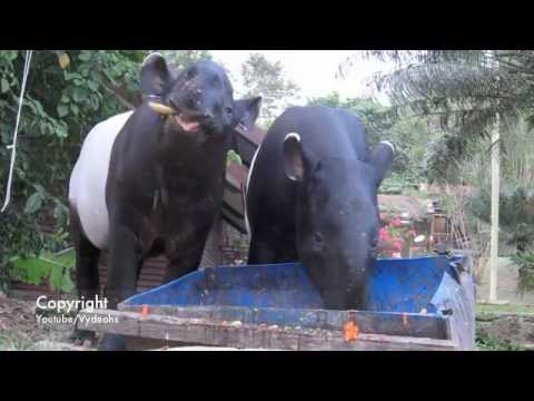 Two Tapir Having a Feast