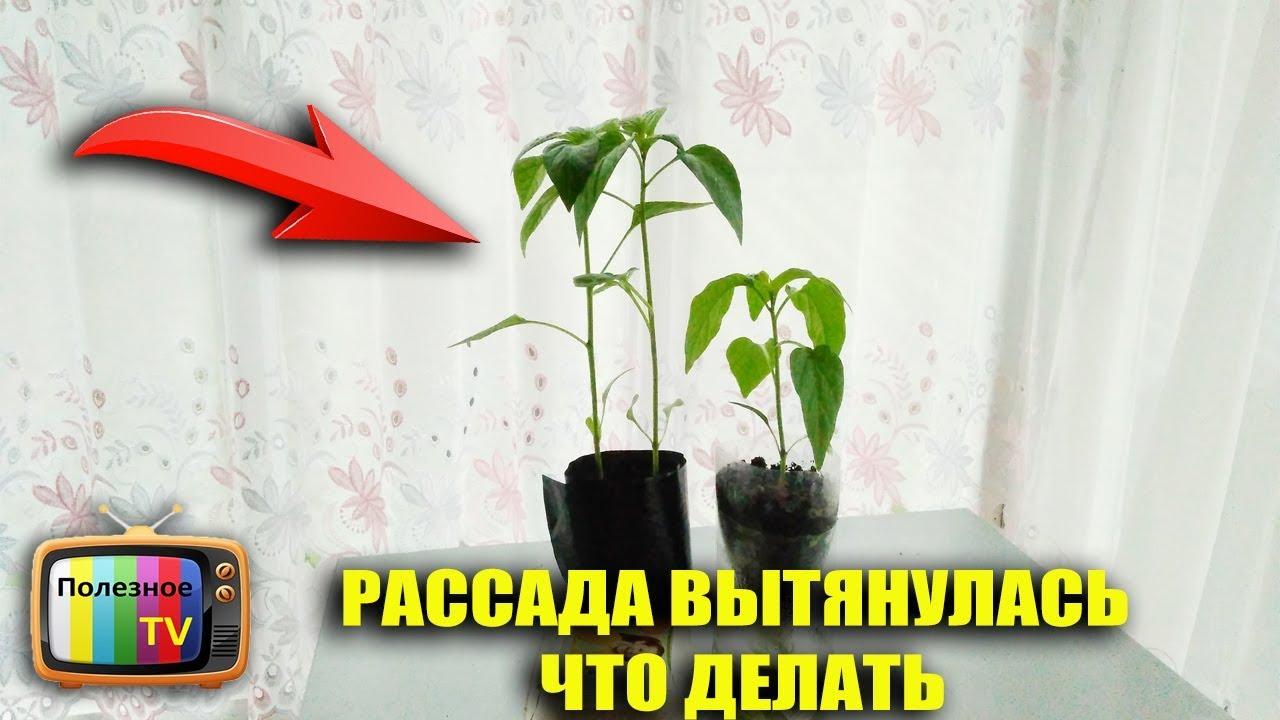 Если рассада помидоров вытянулась что делать