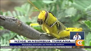 Nzige wasumbua Turkana #CitizenNipashe