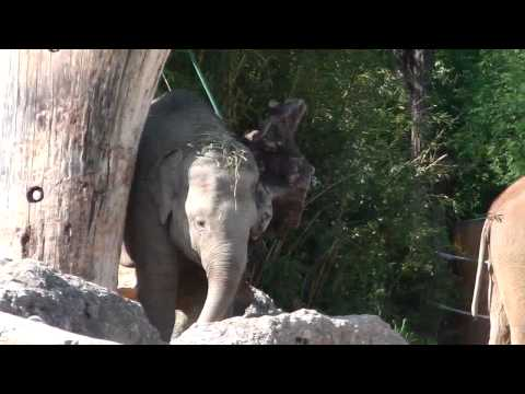 Kraftraining fr Baby Elefant Ludwig - Weight Training exercises for Little Elephant Ludwig