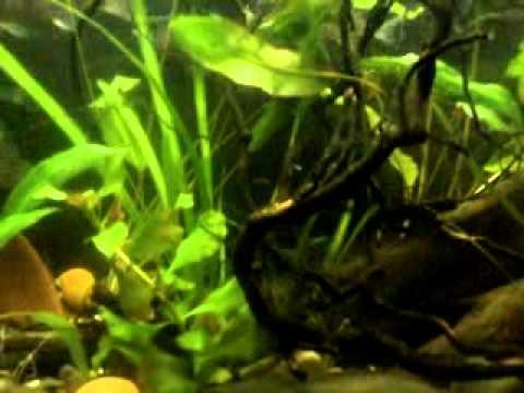 видео окунь в аквариуме