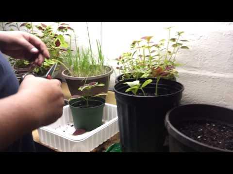 Indoor Garden Experiment -Part 3 (Coleus. Onions. Poppy)